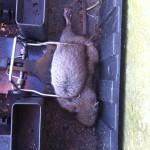 Bruine rat in klem