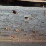 Houtworm/boktor Constant plaagdier Preventie