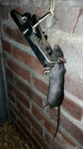 Hangende zwarte rat