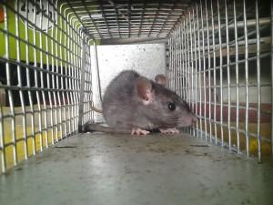 Zwarte rat in kooi